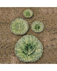 Cabbage Plates by