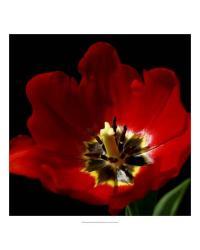 58970Z Shimmering Tulips II by