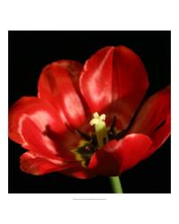 58972Z Shimmering Tulips IV by