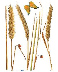 3 Corn in the Ear by