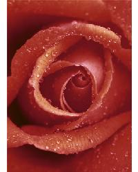 368 Rose by