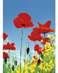 371 Poppy Field by