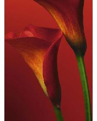 406 Red Calla Lilies by
