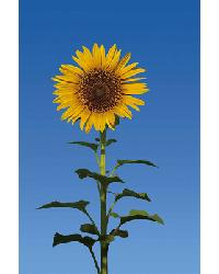 509 Sunflower by