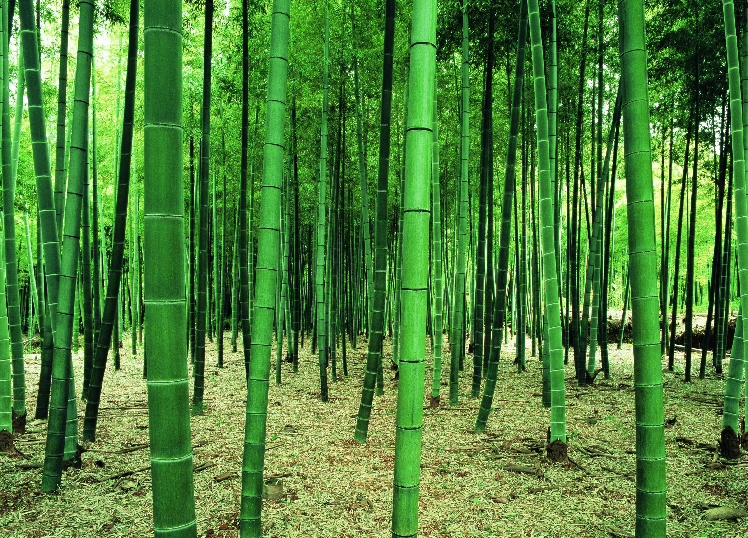 Washington wallcoverings wall murals wall best free for Bamboo forest mural wallpaper