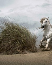 White Wild Horse Wall Mural by