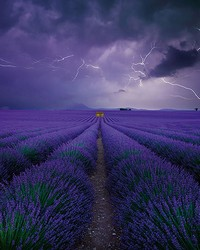 Field Of Lavender Wall Mural by