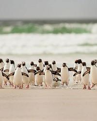 Penguins Walking Wall Mural by