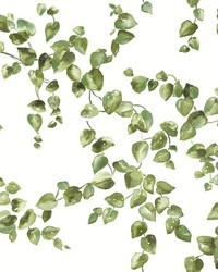 Creeping Fig Vine Wallpaper Green by