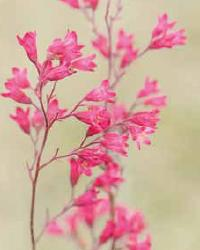 Poetico Pink Wild Columbine by